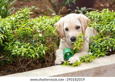 Labrador puppy playing  - stock photo