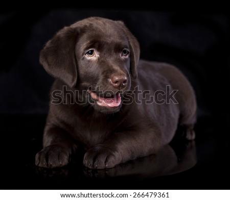 Labrador puppy portrait - stock photo