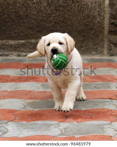 labrador puppy running with a green ball - stock photo