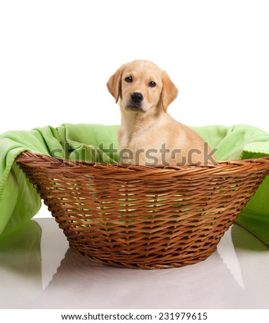 Labrador puppy sitting in his basket - stock photo
