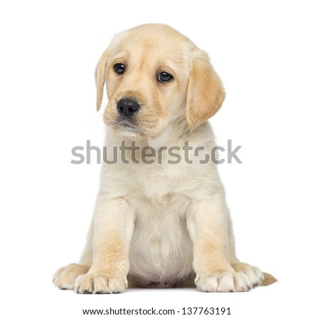 Labrador Puppy sitting, isolated on white