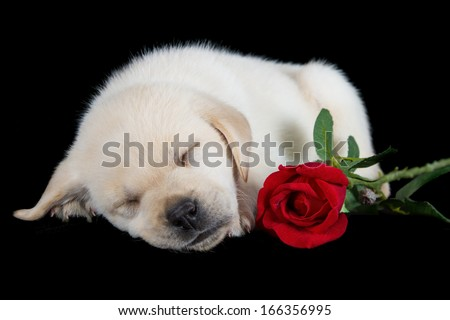 Labrador puppy sleeping on black with red rose studio shot - stock photo