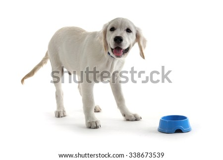 Labrador puppy with blue bowl isolate on white - stock photo