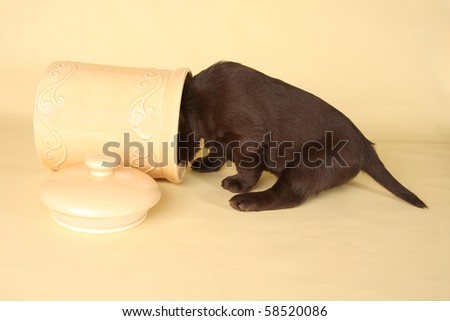 Labrador puppy with it's head in the cookie jar. - stock photo