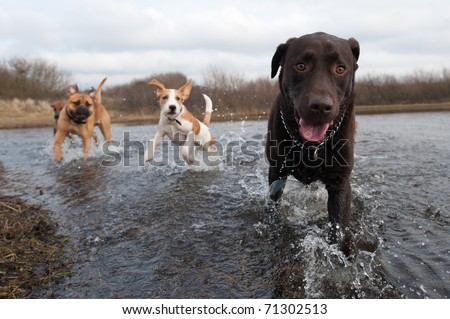 Labrador Retriever and friends having fun in the water - stock photo