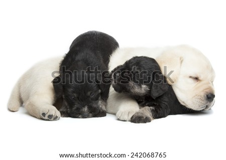 Labrador Retriever and Miniature Schnauzer black puppies isolated over white background - stock photo