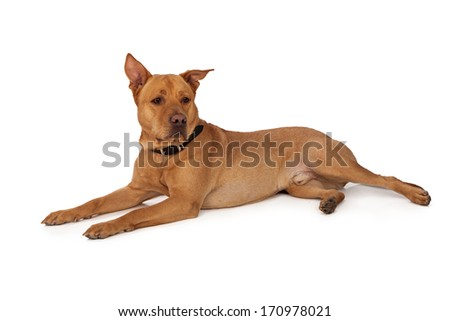 Labrador Retriever and Shepherd mixed breed dog laying down against a white backdrop - stock photo