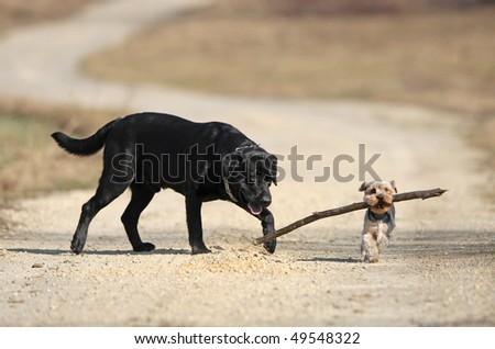 Labrador retriever and yorkshire terrier playing with stick - stock photo