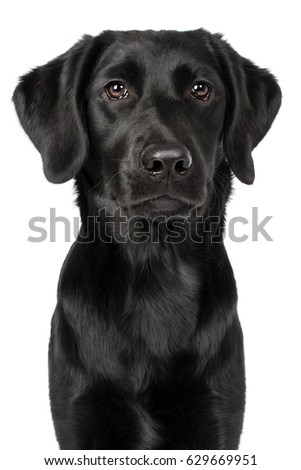 Labrador retriever breed dog head black looking attentively frontal