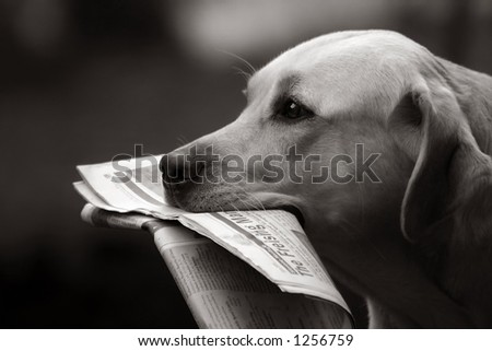 Labrador retriever bringing daily news - stock photo