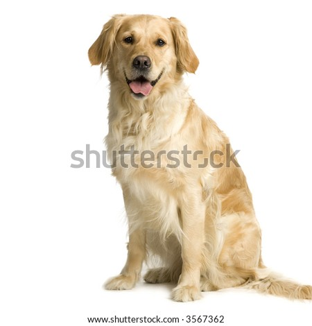 Labrador retriever cream in front of white background and facing the camera - stock photo