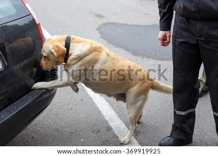 Labrador retriever Customs dog sitting on scale - stock photo