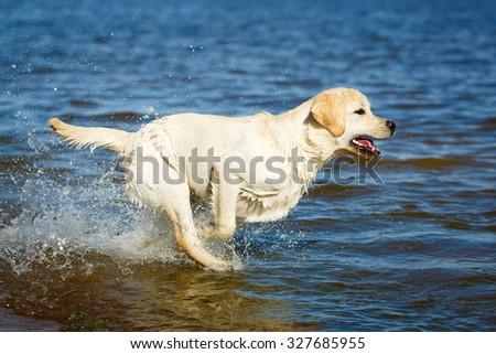 labrador retriever dog - stock photo