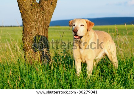 Labrador Retriever Dog - stock photo
