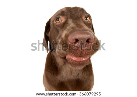 Labrador Retriever dog breed dog brown Wide grins laughing grimace - stock photo