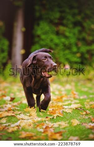 labrador retriever dog carrying a tennis ball - stock photo
