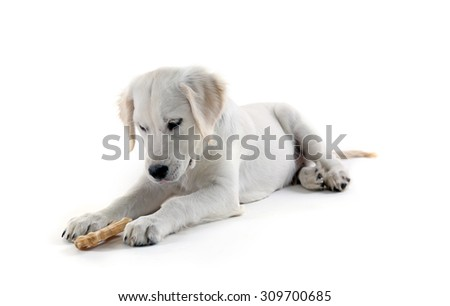 Labrador retriever dog chewing bone isolated on white - stock photo