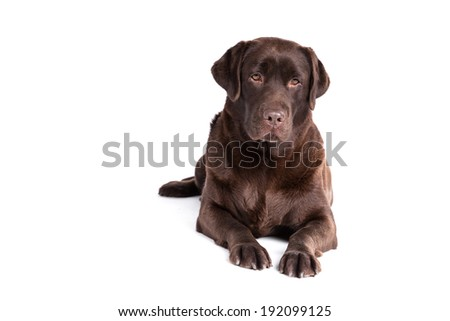 Labrador Retriever dog on a white background