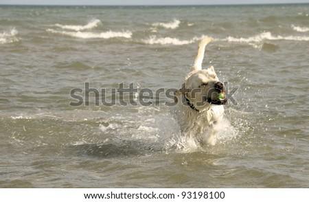 Labrador retriever dog playing with a tennis ball at the beach. - stock photo