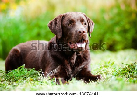 labrador retriever dog portrait - stock photo
