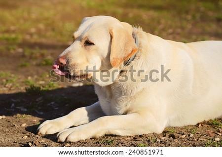 Labrador Retriever dog portrait, detail - stock photo