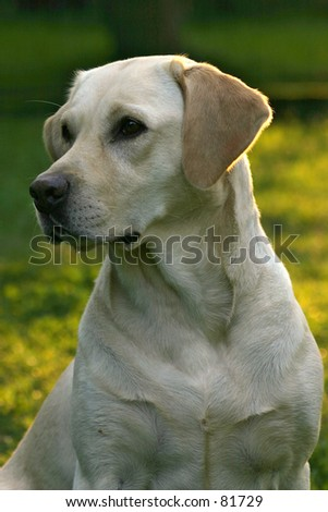 Labrador retriever dog portrait in natural environment.