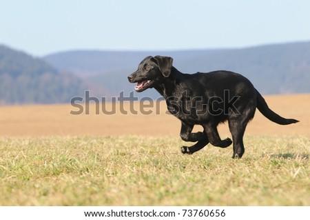 Labrador Retriever Dog puppy 4 months running - stock photo