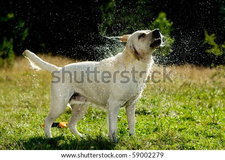 labrador retriever dog shaking off water - stock photo