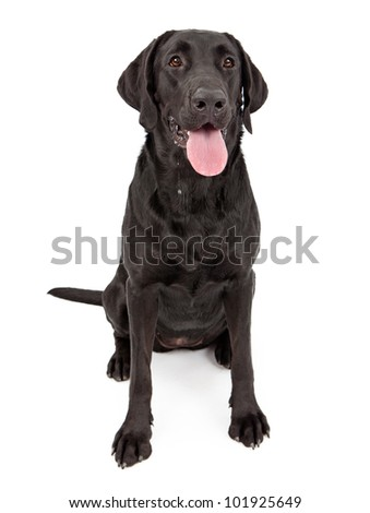 Labrador Retriever dog standing against a white backdrop with slobber and dripping drool - stock photo