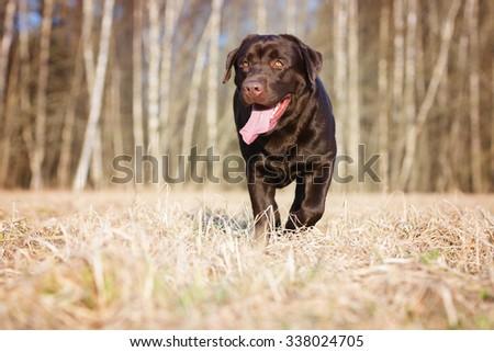 labrador retriever dog walking on a field - stock photo