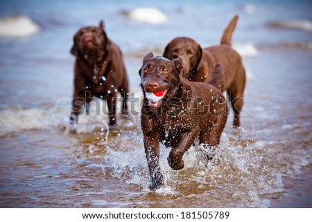 labrador retriever dogs playing in the water - stock photo