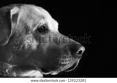 Labrador retriever in front of the black background - stock photo