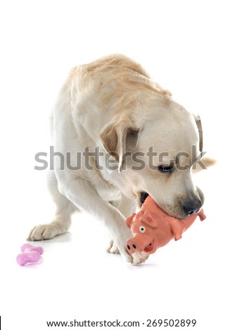 labrador retriever in front of white background - stock photo