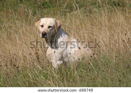 labrador retriever in high grass - stock photo