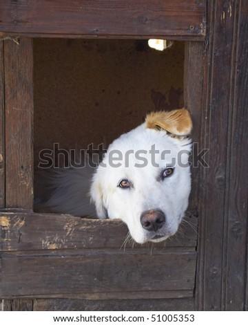 Labrador retriever in house - stock photo