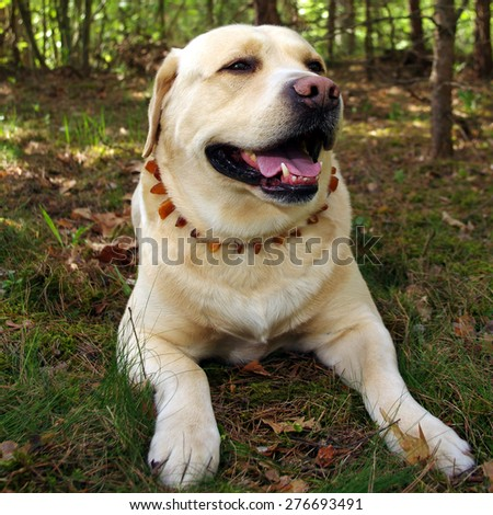 Labrador retriever in park