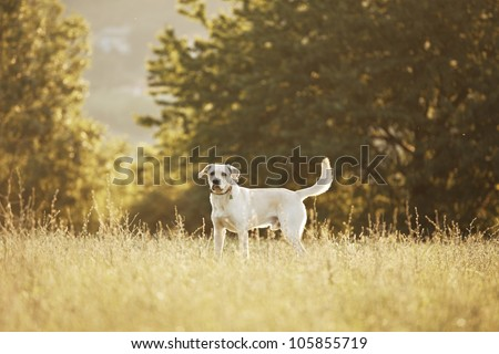 Labrador retriever in park at the sunrise - back lit - stock photo