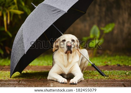 Labrador retriever in rain is waiting under umbrella. - stock photo