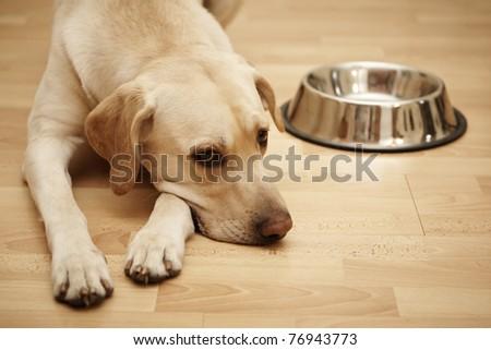 Labrador retriever is laying near a big empty dog food bowl. - stock photo
