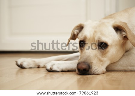 Labrador retriever is laying on the floor. - stock photo