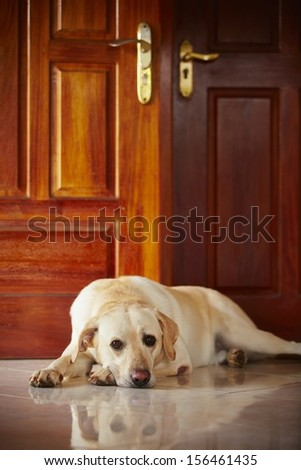 Labrador retriever is lying in door of the house  - stock photo