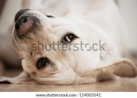 Labrador retriever is lying on the back. - stock photo