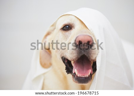 Labrador retriever is playing with white bed sheet. - stock photo