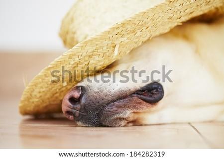 Labrador retriever is posing with straw hat - stock photo