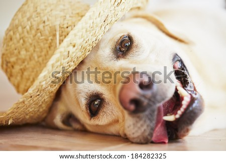 Labrador retriever is posing with straw hat - stock photo
