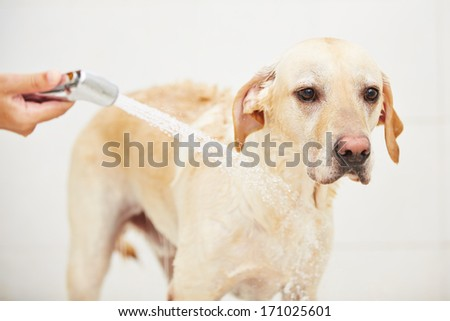 Labrador retriever is taking a shower at home. - stock photo