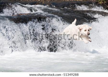 Labrador Retriever jumping in mountain river - stock photo