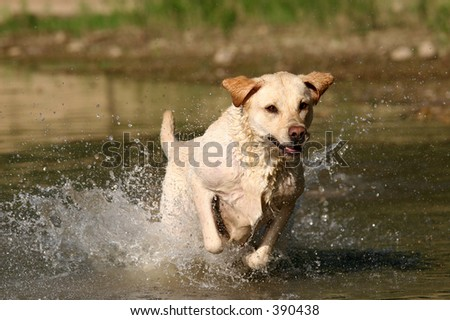 Labrador retriever jumping in the water. - stock photo