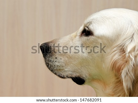 Labrador retriever, Labrador retriever portrait close up, only head crop, labrador in brown cream background looking straight with space for advertising and text, dog head, sitting in light background - stock photo