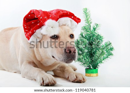 Labrador retriever  laying by a small Christmas tree